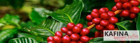 Новата специална селекция гурме кафета от КАФИНА